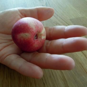 Litet nektarinträd ger många goda frukter