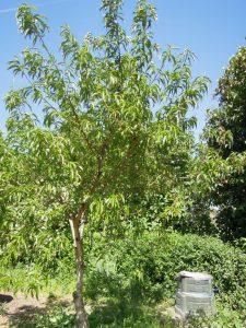 Persikoträd Frost är friskt varje år