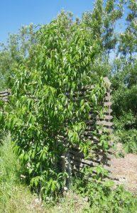 Persikoträd Riga klarar krussjuka med EM