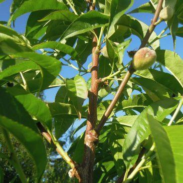 Persikoträd Riga föryngras med nya grenar nära stammen