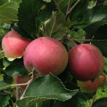 Äppelträdet Alice får bra skörd efter rotskada