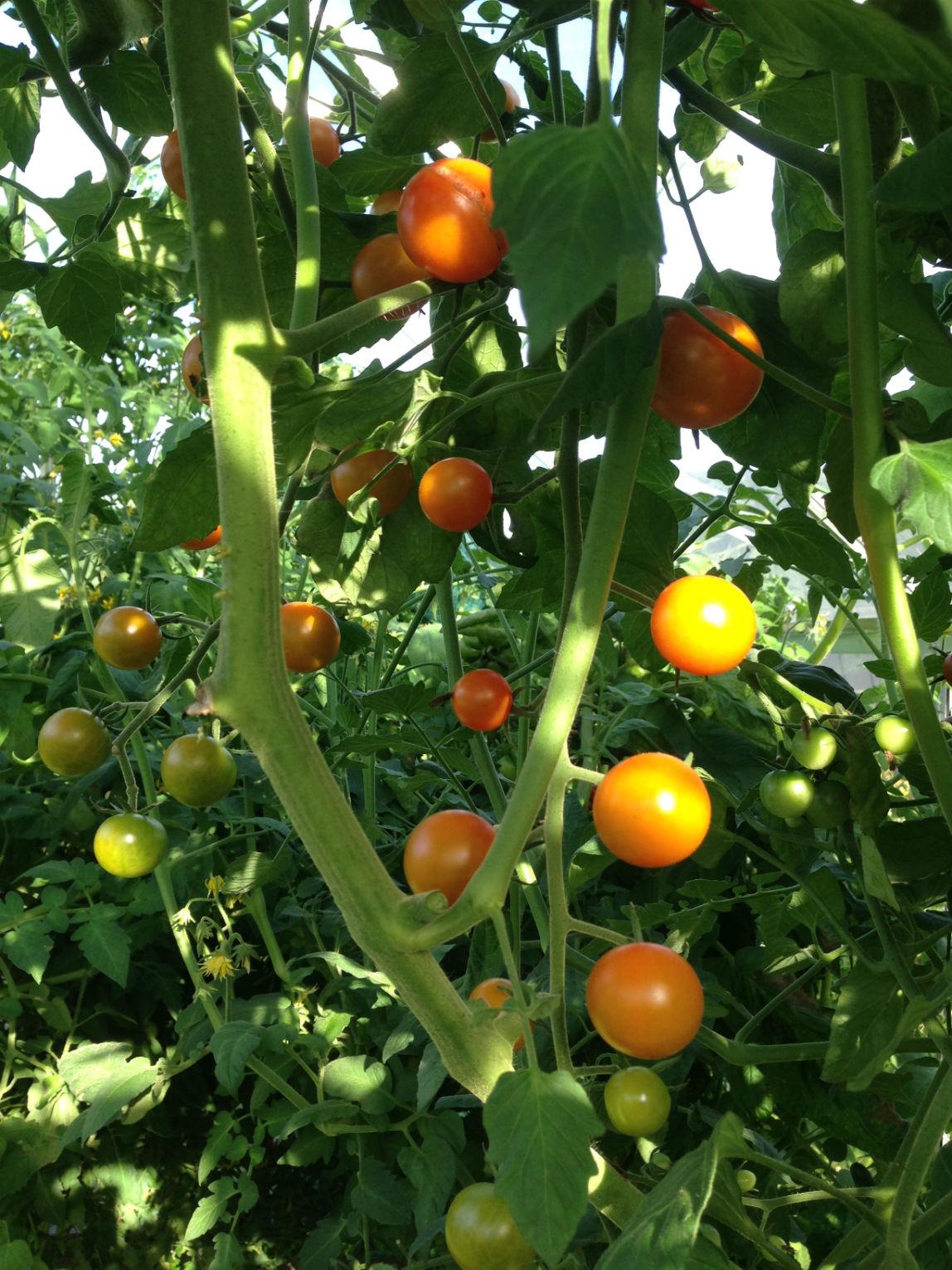 Sungold är en god tomat, här är en riktigt kraftig planta som inte toppats ännu.