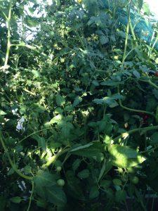 Växthus slipper mögel med EM och tomatplantorna växer sig stora