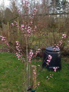 Persikoträd Frost, planterat för två år sen.