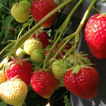 Odla jordgubbar med EM och lakvatten