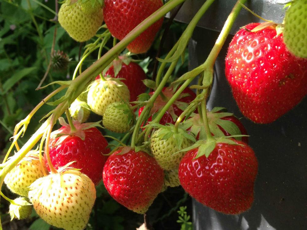 Odla jordgubbar med EM