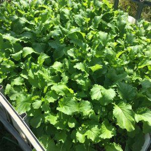 4 veckor efter sådd växer kålen bra i jorden som gjorts av fermenterad maskros och fermenterade löv.