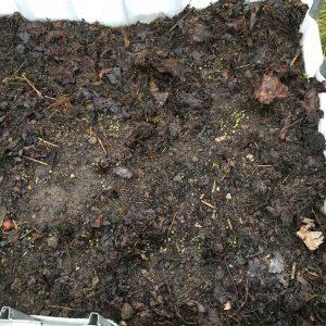 Kålfröna gror i den mullrika jorden som består av lerjord med fermenterat ogräs och löv.