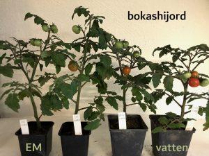 Tomattest bokashijord med och utan EM